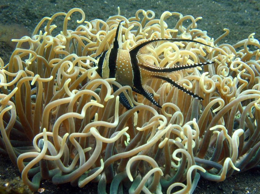 Pulau(= Insel) Sahaung (Bangka Archipel), Pulau Sahaung,Indonesien,Banggai - Kardinalbarsch (Pterapogon kauderni)