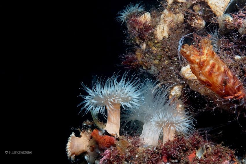 Koralle, Kaltwasserkoralle, Niederlande