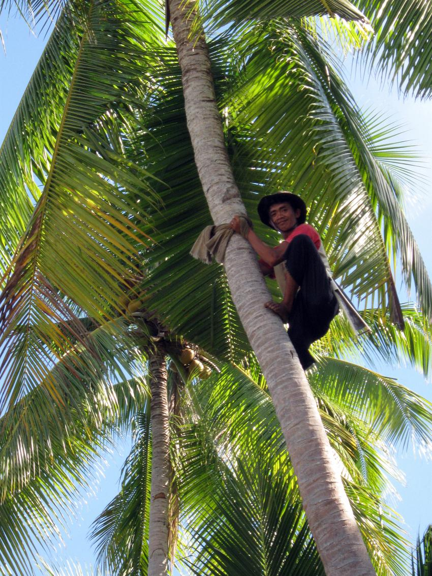 Pulau(= Insel) Sahaung (Bangka Archipel), Pulau Sahaung,Indonesien,Kokosnußernte auf Sahaung