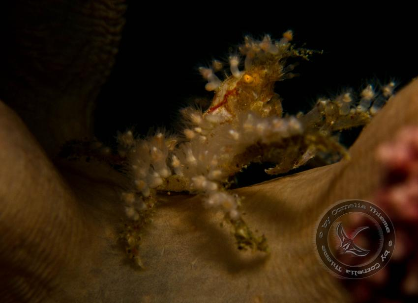 Maluku Divers 2010, Molukken/Ambon,Indonesien,Krabbe,Krebs,Anemonenträger