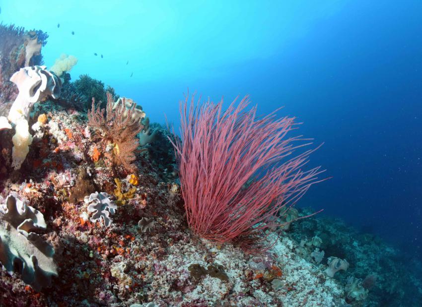 Peitschenkoralle, Korallen, M/V Putri Papua, Indonesien