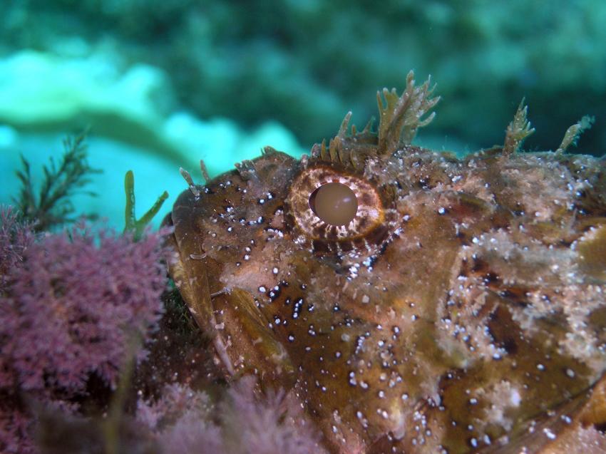 Mallorca, Cala Ratjada., Mallorca,Cala Ratjada,Spanien,Schleimfisch,Geweih