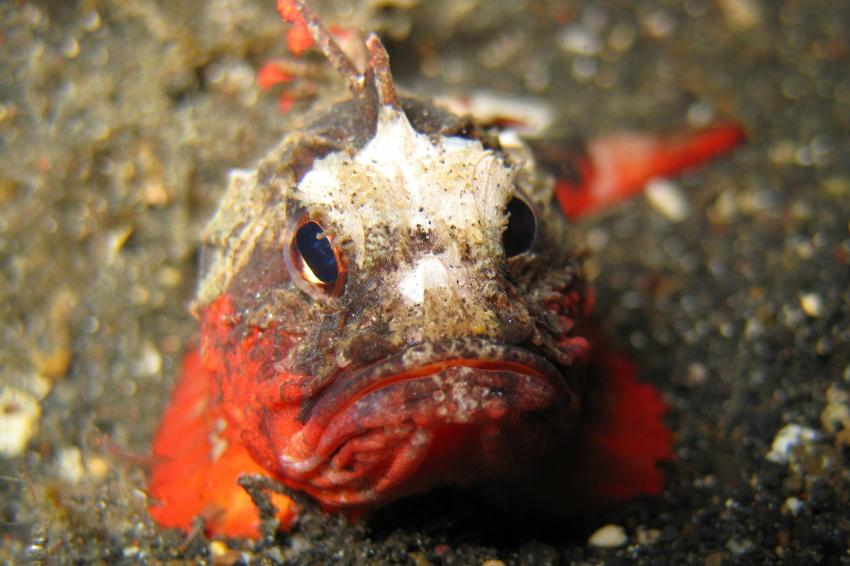 Lembeh, Lembeh,Indonesien,Skorpionsfisch