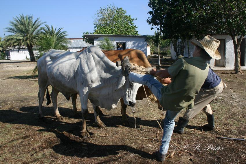 Bahia Naranjo, Bahia Naranjo,Kuba,Einheimischer,Bauer,Ochsen,Pflug,Feld