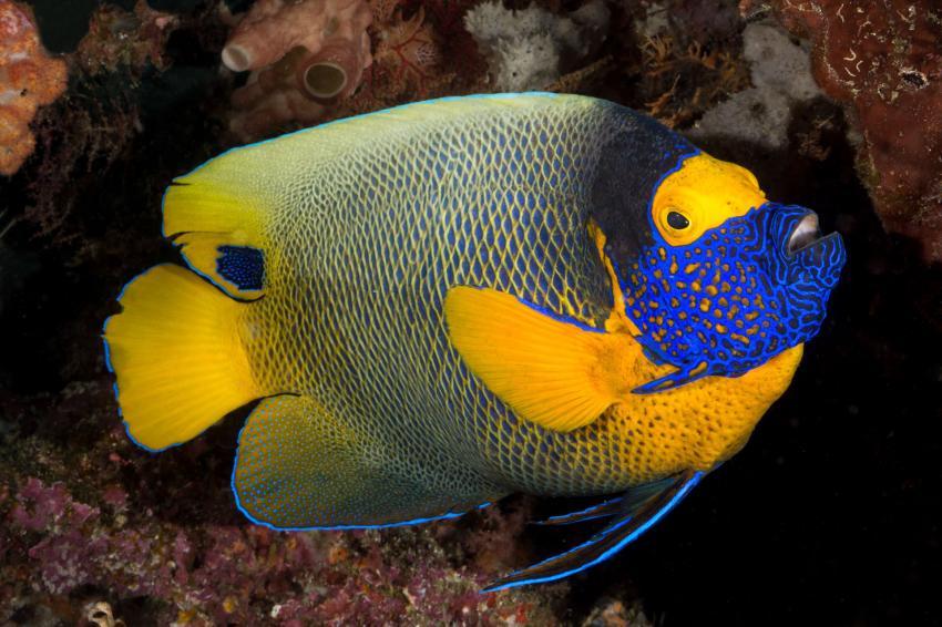 Blaukopf-Kaiserfisch (Pomacanthus xanthometopon), Blaukopf-Kaiserfisch, Pomacanthus xanthometopon, Tambora, Indonesien