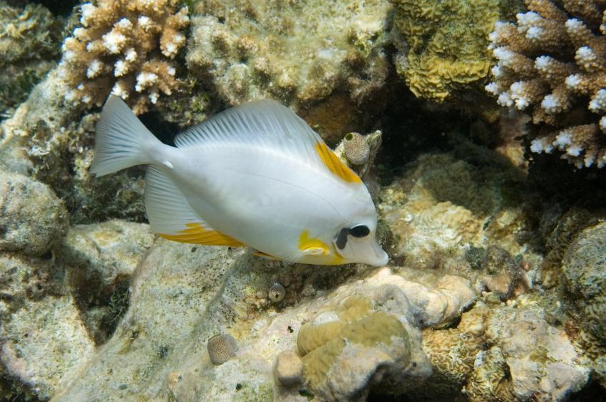 Lhaviyani Atoll Komandoo, Lhaviyani Atoll Komandoo,Malediven,Brauner Segelflosser,Farbvariante