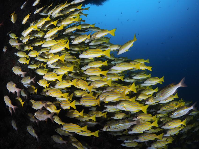 Fischschwarm, Euro-Divers Eriyadu, Malediven