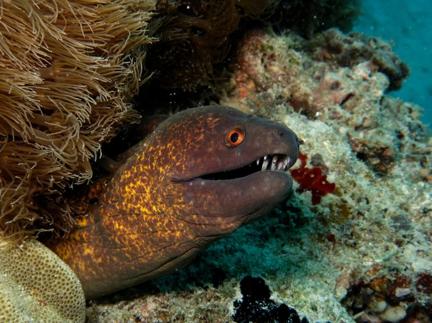 Yellow edged moray eel, Maziwe Island - Nationalpark, Tansania