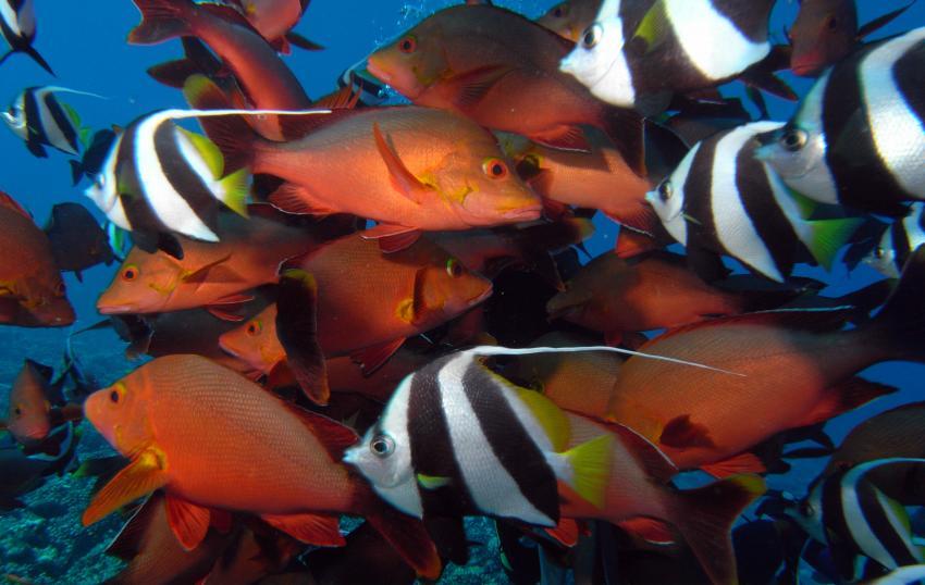 Moorea, Moorea und Fakarava,Französisch-Polynesien,Halfterfische