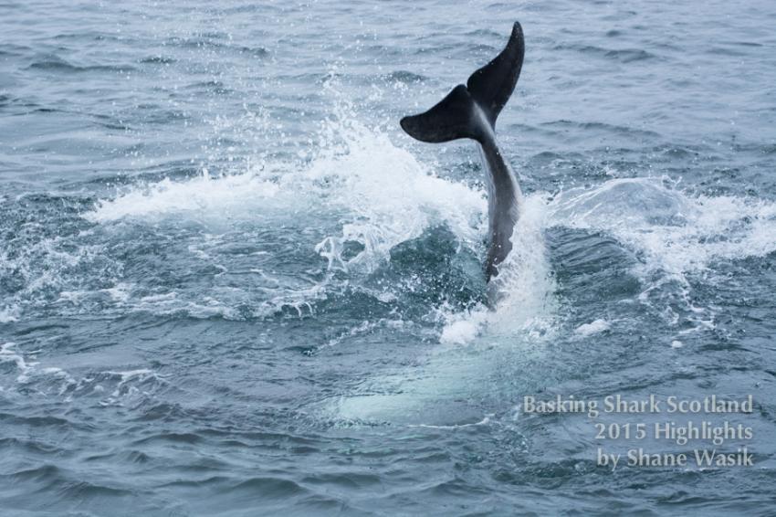 Wale und Delphine, Hebrides, whales, dolphins, minke whale, Basking Shark Scotland, Oban, Großbritannien, Schottland