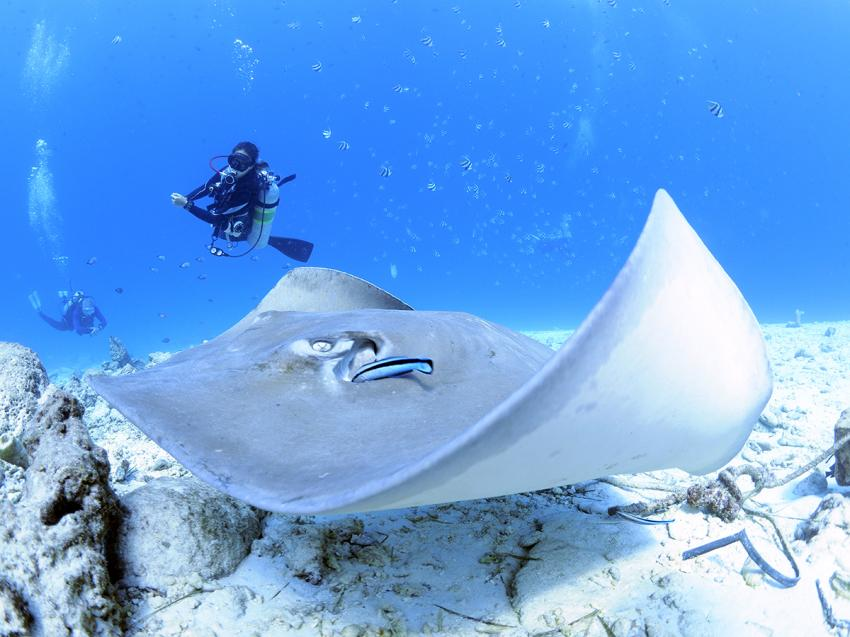 Eagle Ray, Manta, Euro-Divers, Meeru Island Resort & Spa, Malediven