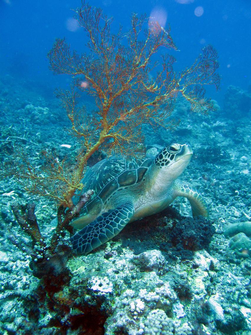 Gili Air, Gili Air,Indonesien,Meeresschildkröte,Cheloniidae