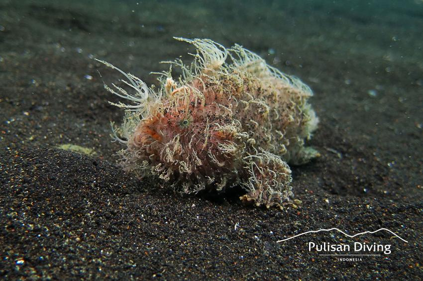 Pulisan Diving, Hairy Frogfish, Lembeh, Indonesia