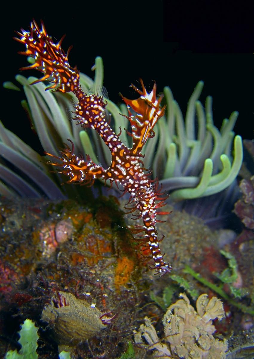 Gangga Island, Gangga Island,Nord-Sulawesi,Indonesien,Geisterpfeifenfisch