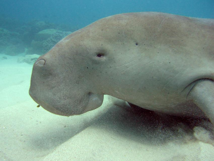 Bangka, Bangka/Sahaung,Indonesien,Dugong,Sirenia,liegend