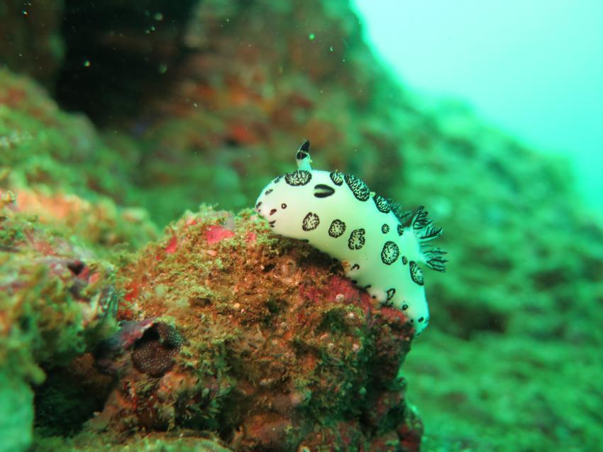 Nacktschnecke am Fahal Island, Extra Divers, Sifawy Boutique Hotel, Sifah, Oman