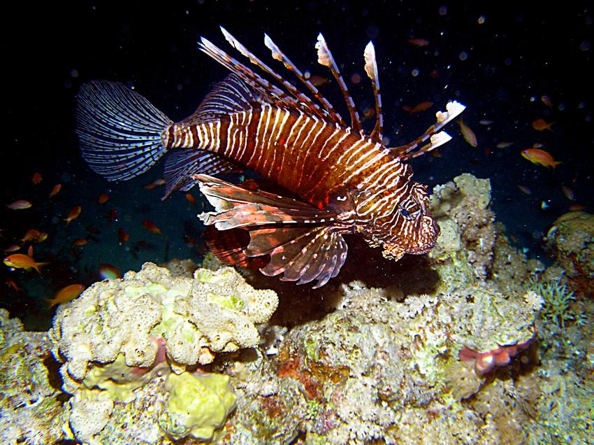Tauchsafari Süd Tour, Safari Südtour,Ägypten,Safari Süd Tour,Skorpionsfische,Rotfeuerfisch