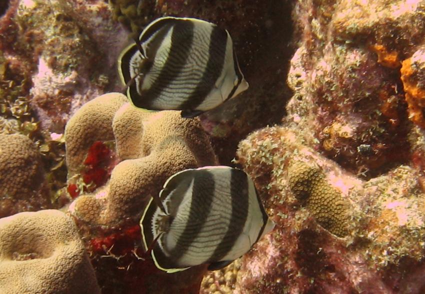rund um West Punt, West Punt,Curaçao,Niederländische Antillen,Gestreifte Falterfische