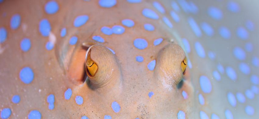 Auge um Auge, Annette & Robby RedSea-Divers,Hurghada,Ägypten,Blaupunktrochen