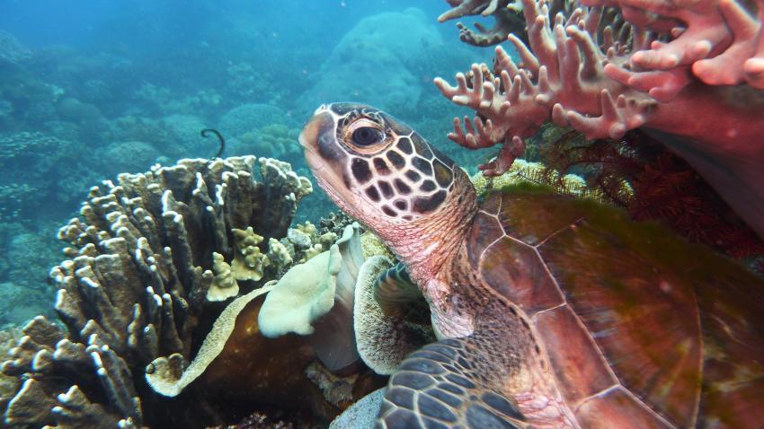 Dive Hub, Dive-Philippinen,Philippinen,Meeresschildkröte,auf Koralle sitzend