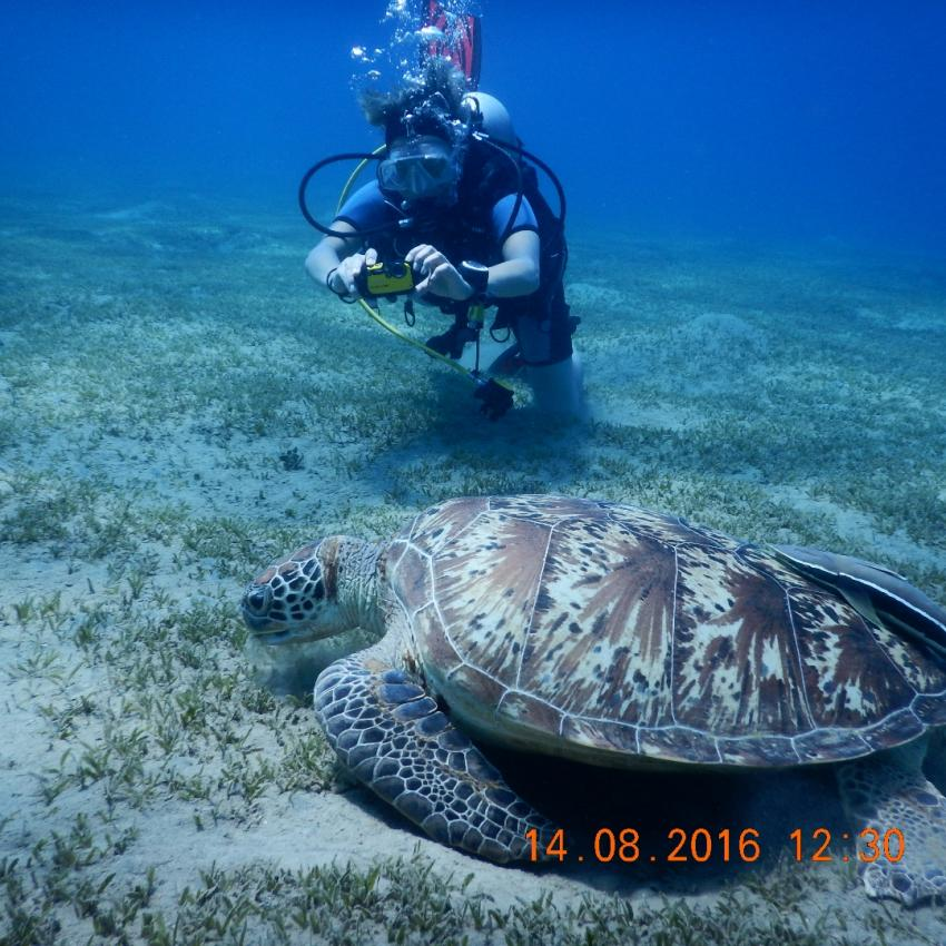 Schildkröte in Abu Dabab, Ägypten Best, Ägypten