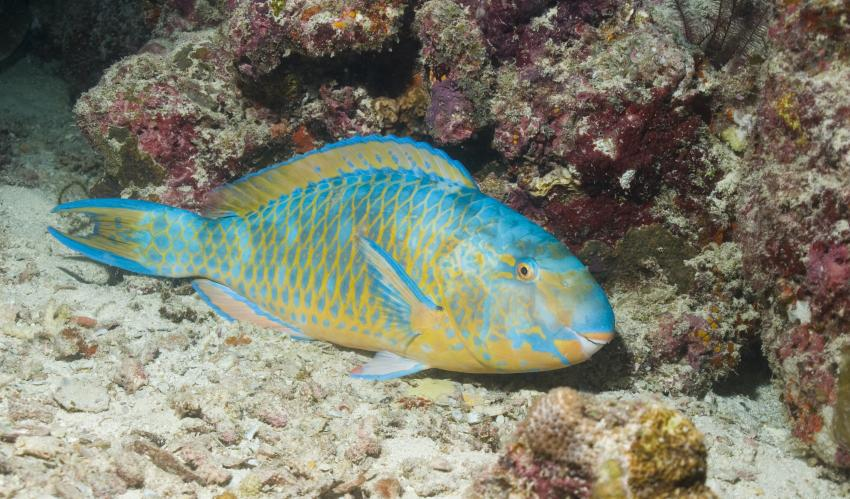 SY Siren Tauchsafari südliche Atolle, Tauchsafari südliche Atolle,Malediven,Papageifisch