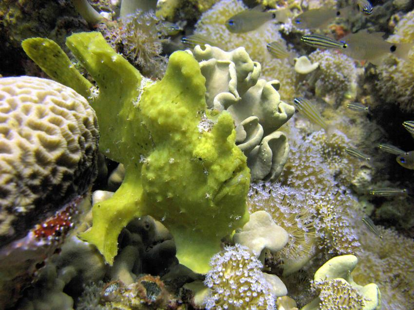 FROG FISH, Red Sea Waterworld Taba, Taba Heights, Ägypten, Sinai-Nord ab Dahab