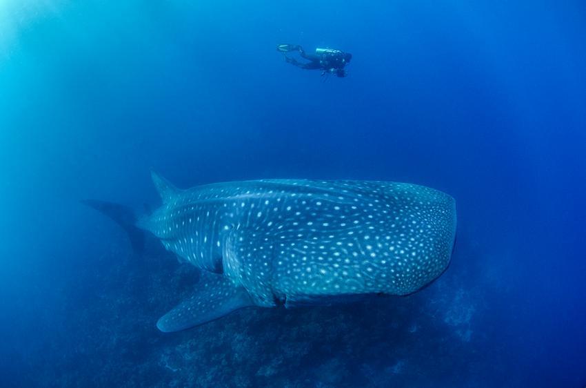 Taucher macht Foto-ID vom vorbeischwimmenden Walhai, Galapagos, Tauchen, Tauchsafari, Walhai, Darwin Arch, Galapagos Shark Diving, Ecuador
