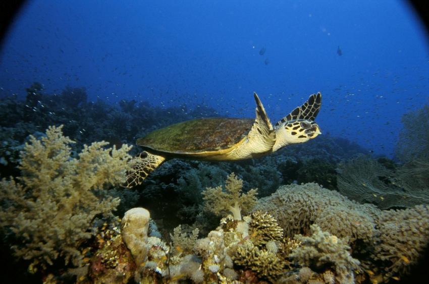 Dahab Gabr El Bint, Gabr el Bint,Ägypten,Turtle,Schildkröte,Riff,Korallen