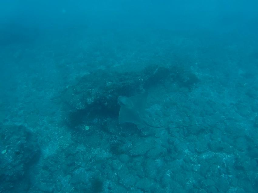 Eagle Ray, Leagues Ahead Diving, Maspalomas , Spanien, Kanaren (Kanarische Inseln)