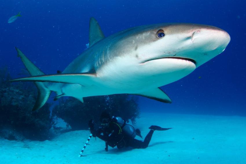 Hai, Riffhai, Shark, Reef Oasis Viva Bahamas, Grand Bahama, Bahamas