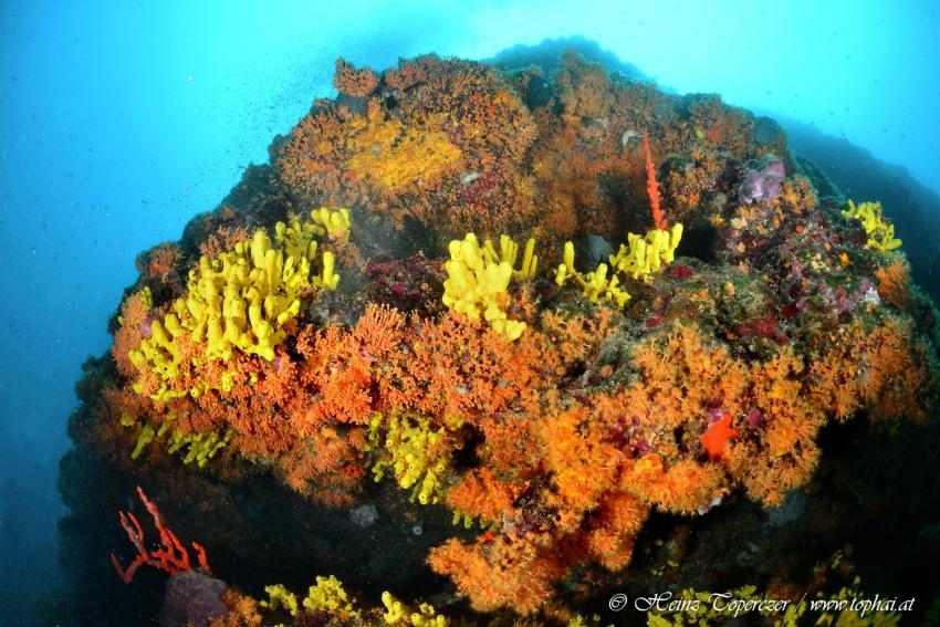 Korallen, Mittelmeer, Adria, Hang-Loose-Diving, Punat, Insel Krk, Kroatien