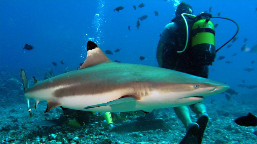 Moorea, Moorea und Fakarava,Französisch-Polynesien,Haie,Haifütterung