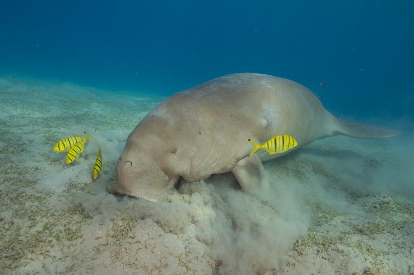Seekuh, Dugong, Coraya Divers, Coraya Beach, Marsa Alam, Ägypten, Marsa Alam und südlich
