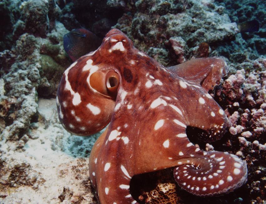 Insel Mahé, Mahé,Seychellen,Oktopus,Tintenfisch
