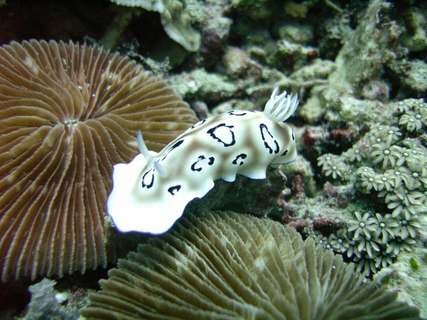 Nationalpark Insel Menjangan, Bali Insel Menjangan,Indonesien,Prachtsternschnecken,Chromodorididae,Nacktschnecke