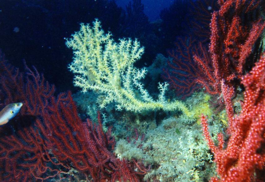 black coral Mortoriotto island, Ira Diving Club, Porto Rotondo (Sardinien), Italien, Sardinien