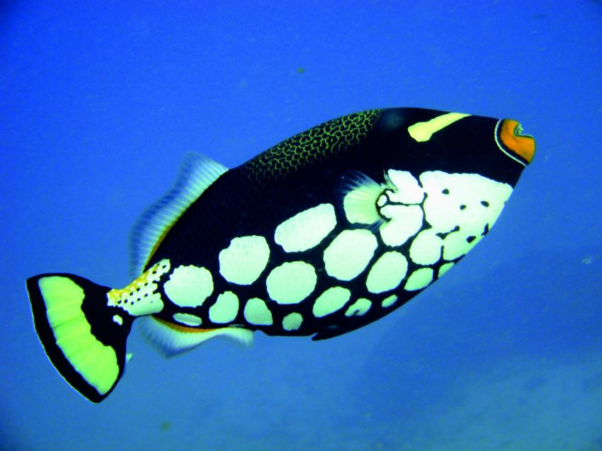 Clown-trigger-fisch - Similan Islands