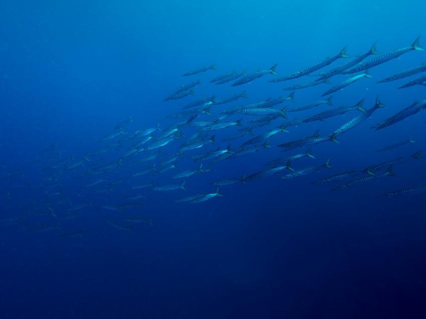 Fischschwarm Azoren, Mantamaria, Santa Maria, Azoren, Portugal, Azoren