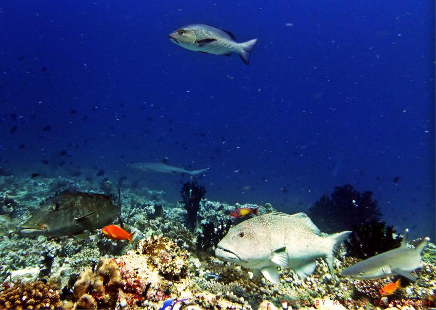 Tauchen mit Casa Mia, Nort Ari Atoll, Mathiveri (Casa Mia),Nord Ari Atoll,Malediven,Mathiveri,Nord Ari Atoll- Casa Mia