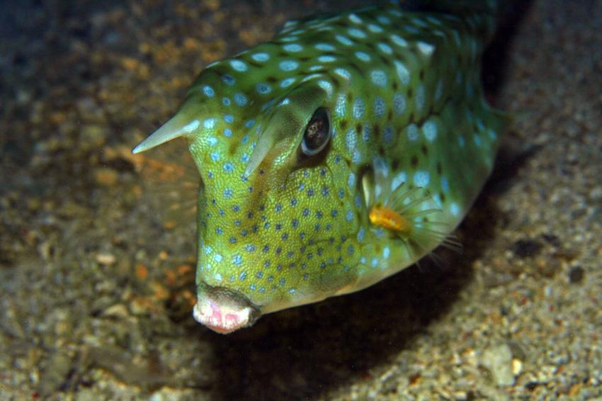 Pulau(= Insel) Sahaung (Bangka Archipel), Pulau Sahaung,Indonesien,Langhorn-Kofferfisch (Lactoria cornuta)