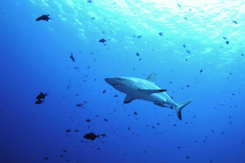 Grey Reef Shark, Palau Dive Adventures, Palau