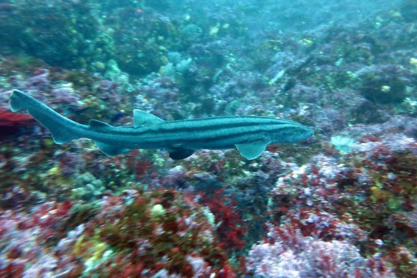 Pyjama Shark  bei Evans Peek , Dive Expert-Tours ,   Südafrika, Südafrika
