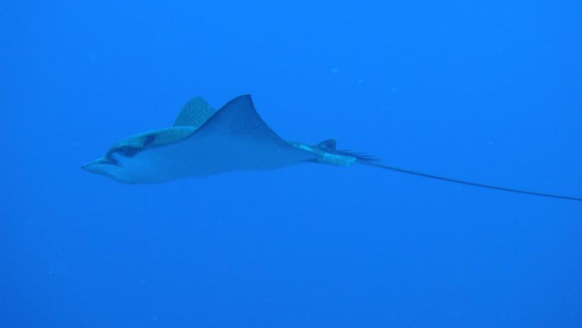 Adlerrochen, Adlerrochen, Rannalhi, Dive Point, Malediven