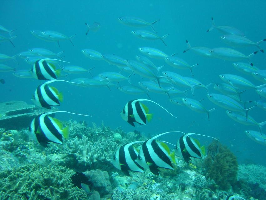 Irian Jaya - Pindito Kreuzfahrt, Irian Yaja,Indonesien,Wimpelfische