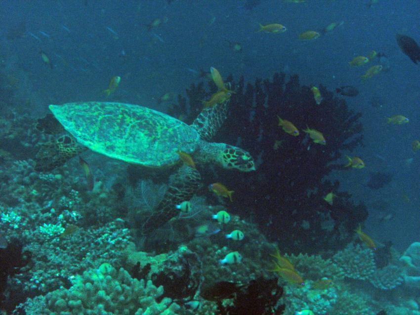 Verschiedene Tauchplätze von Meeru aus, Nord Male Atoll,Malediven