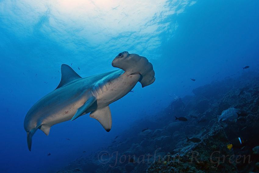 Ein Hammerhai schwimmt sehr nah über den Köpfen der Taucher