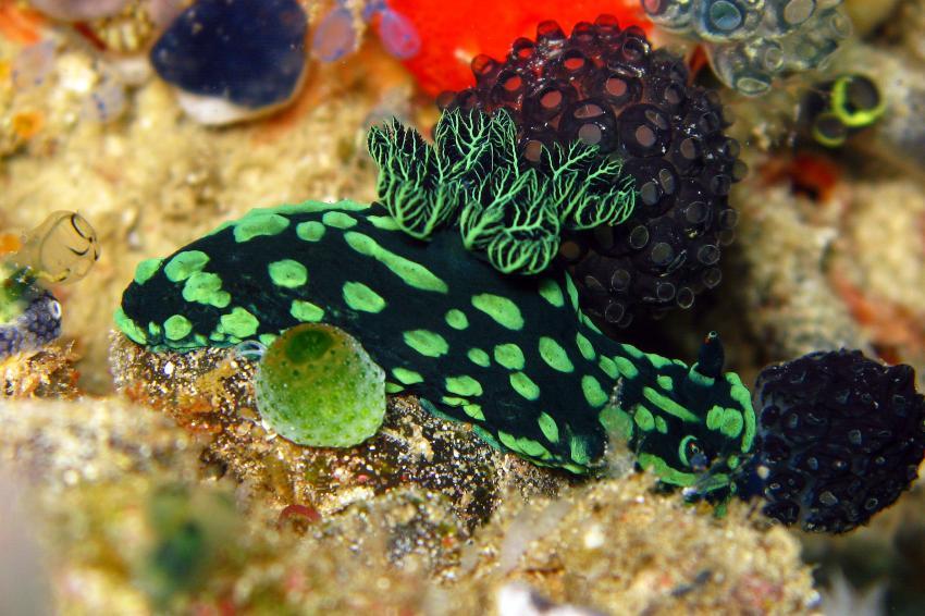 Unterwegs mit den Gangga Divers, Gangga Island,Nord-Sulawesi,Indonesien,Chromodoris coi,Prachtsternschnecke,Nacktschnecke,grün