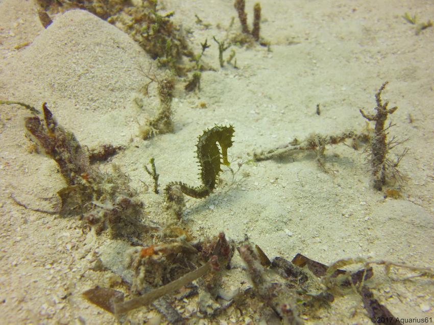 Sea Horse, Buccaneer Diving, Zanzibar, Tansania