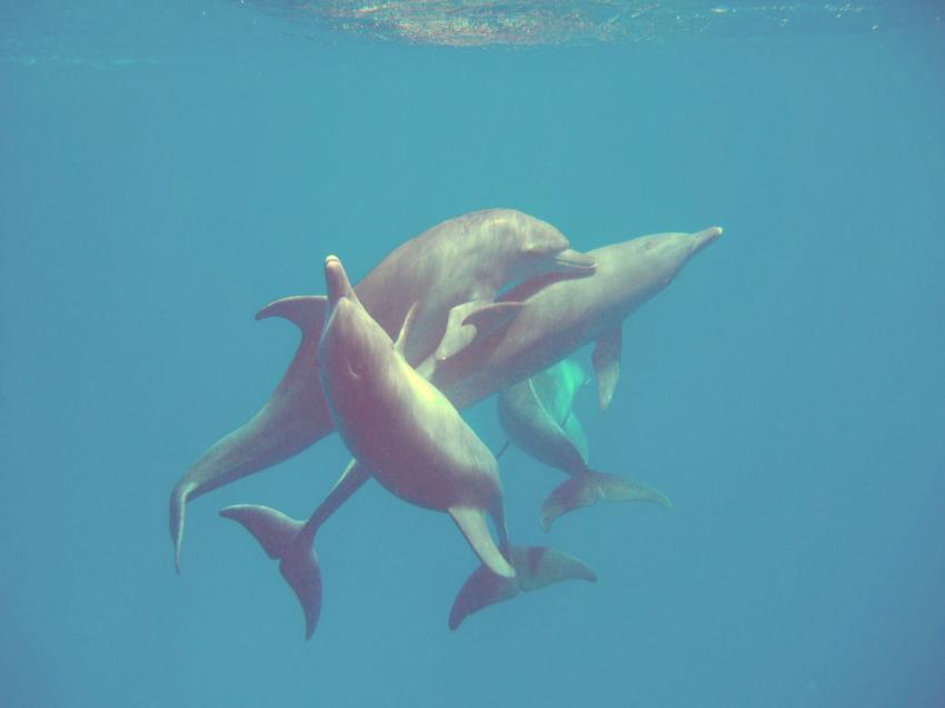 Delphine, El Quseir,Ägypten,Delfine,bei Paarung,Cetacea